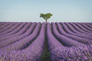 France, Alpes-de-Haute-Provence, Lavender field near Valensoの写真素材 [FYI04344014]