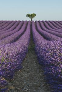 France, Alpes-de-Haute-Provence, Lavender field near Valensoの写真素材 [FYI04344015]