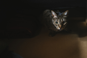 Portrait of starring tabby catの写真素材 [FYI04344277]