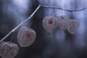 Dried Physalis peruviana in autumn, close-upの写真素材 [FYI04344326]
