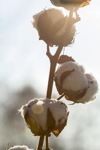 Germany, cotton plantの写真素材 [FYI04344354]