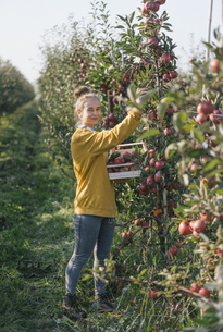 Young woman harvesting applesの写真素材 [FYI04345256]