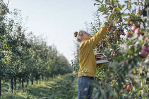 Young woman harvesting applesの写真素材 [FYI04345257]
