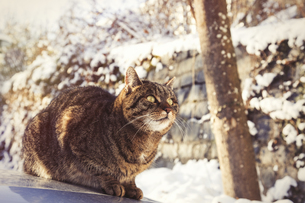 Portrait of tabby cat sitting on motor bonnet in winterの写真素材 [FYI04345450]