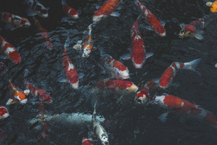 Japan, Tokyo, Asakusa, kois in a pond at Senso-ji templeの写真素材 [FYI04345513]