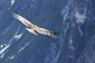 South America, Peru, Andean Condor, Vultur gryphus, flyingの写真素材 [FYI04345947]