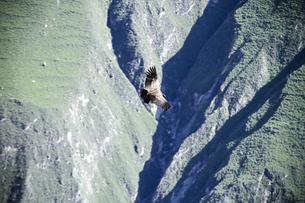 South America, Peru, Andean Condor, Vultur gryphus, flyingの写真素材 [FYI04345949]