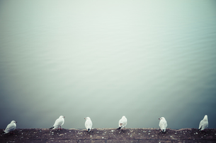 Row of six seagulls in front of waterの写真素材 [FYI04345983]