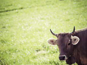 Germany, Black Forest, brown cattle on a meadowの写真素材 [FYI04346039]