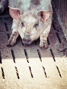 Germany, domestic pig having a restの写真素材 [FYI04346040]