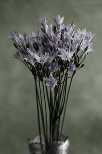 Blue triteleia flower in vase, close upの写真素材 [FYI04355800]