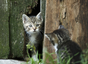 Two tabby kittens, Felis silvestris catus, face to faceの写真素材 [FYI04356277]