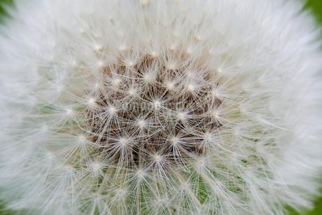 タンポポの綿毛の写真素材 [FYI04377698]