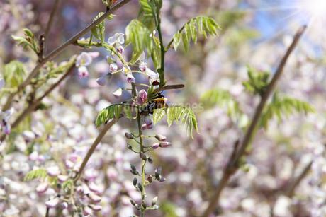 藤の花とクマンバチの写真素材 [FYI04377784]