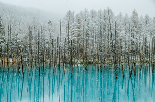 Bare Trees In Blue Pond With Reflection During Snowfallの写真素材 [FYI04399445]