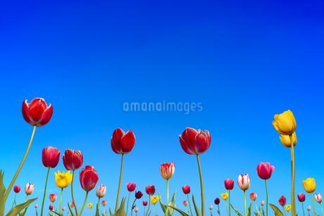 青空を背景に咲く沢山のチューリップ。コピースペースのある春イメージの写真素材 [FYI04412951]