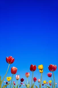 青空を背景に咲く沢山のチューリップ。コピースペースのある春イメージの写真素材 [FYI04412954]