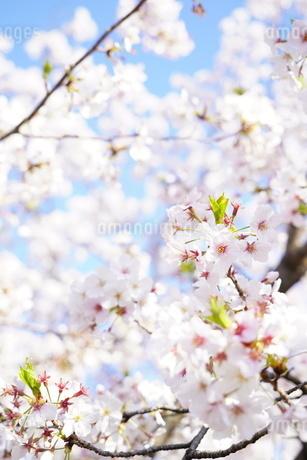 桜の写真素材 [FYI04430805]