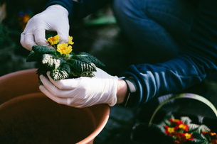 Midsection Of Man Planting Flowers In Gardenの写真素材 [FYI04444259]