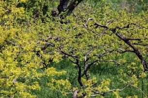春の柿畑の写真素材 [FYI04463521]