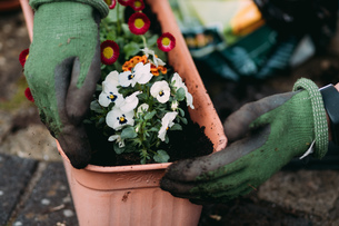 Close-up Of Cropped Hands Planting Flowers In Yardの写真素材 [FYI04469224]