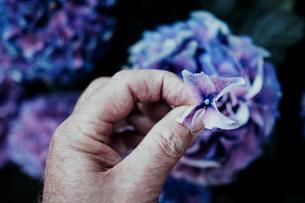 Cropped Image Of Senior Man Holding Purple Flowerの写真素材 [FYI04469754]