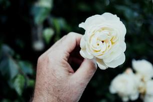 Cropped Image Of Senior Man Holding White Flowerの写真素材 [FYI04469755]