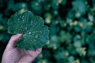 Cropped Hand Holding Wet Leafの写真素材 [FYI04473157]