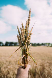 Cropped Hand Of Person Holding Wheat On Field Against Skyの写真素材 [FYI04473870]
