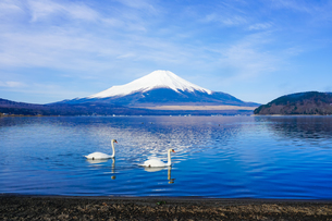 白鳥の泳ぐ山中湖畔から富士山の写真素材 [FYI04482450]