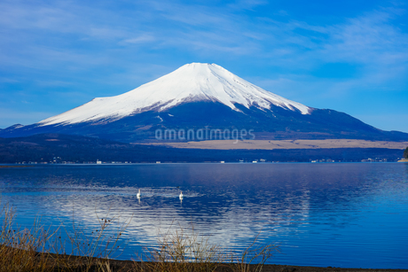 白鳥の泳ぐ山中湖畔から富士山の写真素材 [FYI04482454]