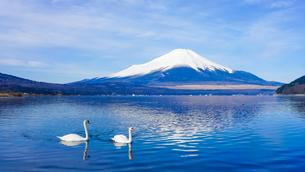 白鳥の泳ぐ山中湖畔から富士山の写真素材 [FYI04482455]