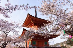 桜と共に眺める世界遺産・厳島神社の写真素材 [FYI04482471]