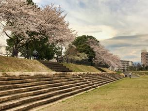 誰もが待ちわびた春 SPRING 八王子市多賀公園のさくら の写真素材 [FYI04482515]