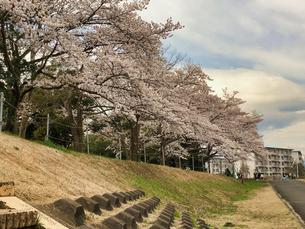 誰もが待ちわびた春 SPRING 八王子市多賀公園のさくらの写真素材 [FYI04482520]