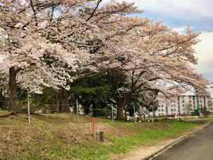 2020/3/27 誰もが待ちわびた春 SPRING 八王子市多賀公園のさくらの写真素材 [FYI04482521]