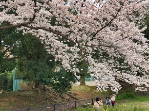 2020/3/27 誰もが待ちわびた春 SPRING 八王子市多賀公園のさくらの写真素材 [FYI04482522]