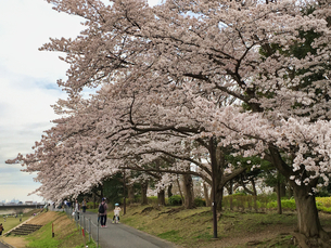 2020/3/27 誰もが待ちわびた春 SPRING 八王子市多賀公園のさくら の写真素材 [FYI04482523]