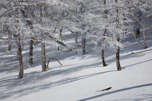 光さす霧氷の原生林(台高山脈(奈良県、三重県の県境))の写真素材 [FYI04482529]