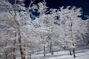 青空に映える霧氷林(台高山脈(奈良県、三重県の県境))の写真素材 [FYI04482530]