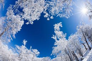 青空に映える霧氷の森(台高山脈(奈良県、三重県の県境))の写真素材 [FYI04482533]
