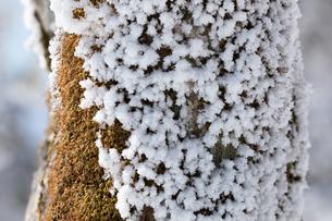 霧氷と苔に覆われた樹木の写真素材 [FYI04482536]