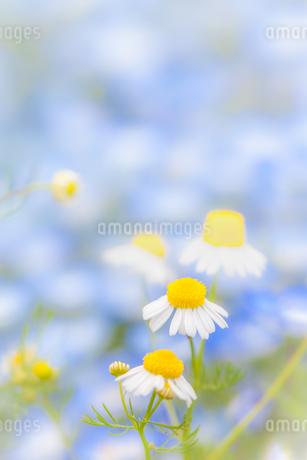 カモミールの花の写真素材 [FYI04482655]