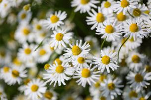 カモミールの花畑の写真素材 [FYI04482718]