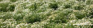 カモミールの花畑の写真素材 [FYI04482725]