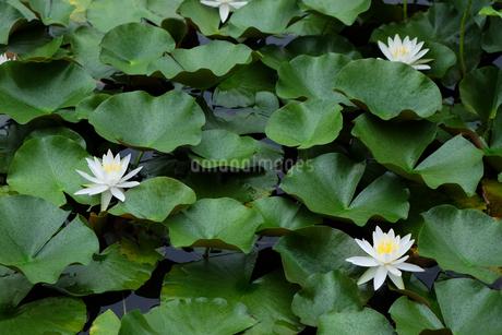 睡蓮の池の写真素材 [FYI04483263]