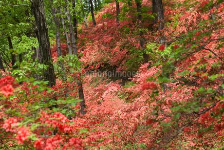 ヤマツツジの森の写真素材 [FYI04483269]