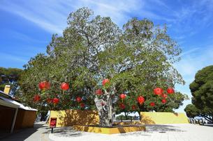 オーストラリア・西オーストラリア州のフリーマントルの沖合約18kmのインド洋に浮かぶロットネスト島の木に飾られた中国旧正月祝いの提灯が飾られた景観の写真素材 [FYI04483451]
