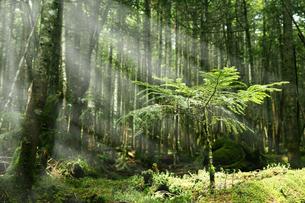 美しい光の中の苔むす森と新緑の一本の木の写真素材 [FYI04483526]