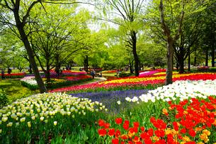 昭和記念公園のチューリップの写真素材 [FYI04484016]
